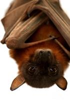 little-red-flying-fox-hanging-out-serena-bowles